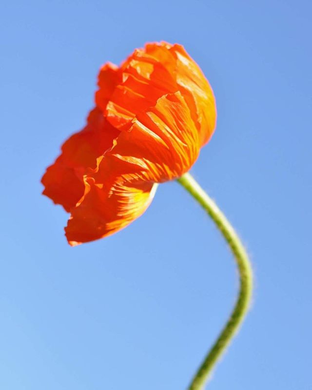 Iceland Poppy, orange. From The Poppy Issue. #futurefossilflora