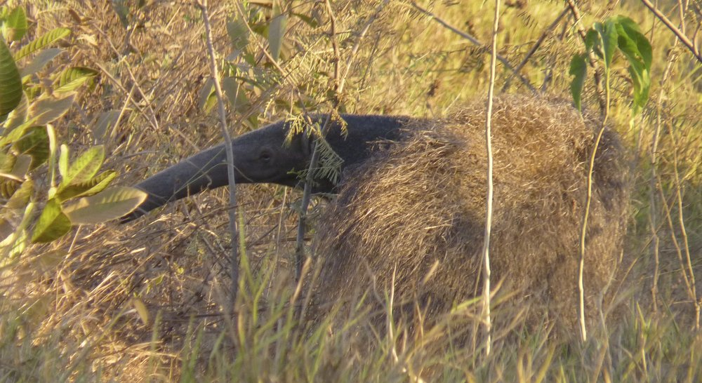 Several species, like the Giant Anteater, depend on the Cerrado to survive