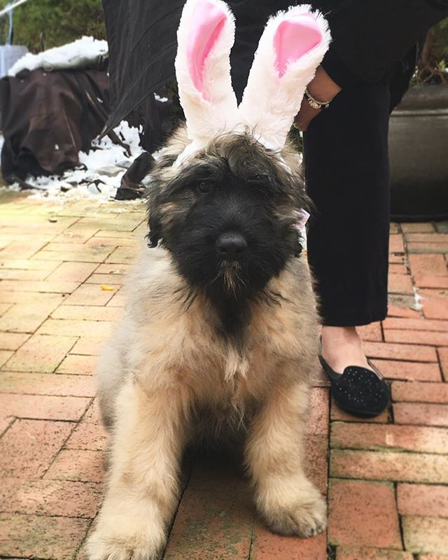 Hiya! It's Maxwell the Bouvier 🐶🐰 here to wish everyone a very happy National Puppy Day! May your weekend be filled with endless snuggles & puppy love! ❤️