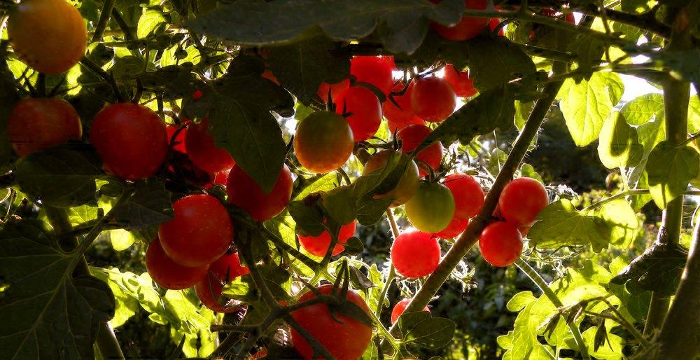 tomatoes 2.jpg