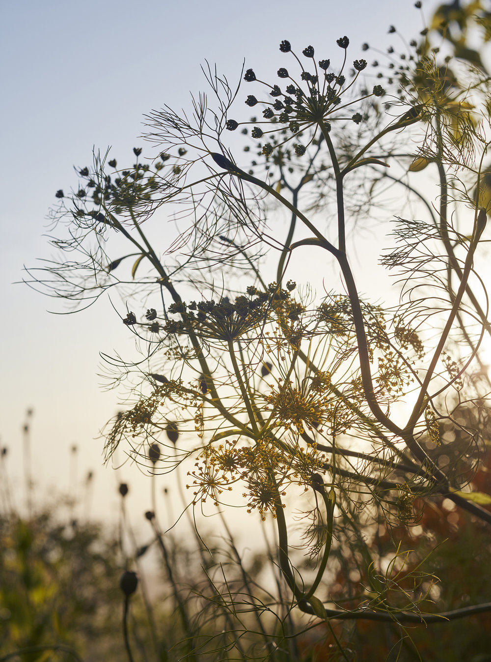 Fennel at Sunset