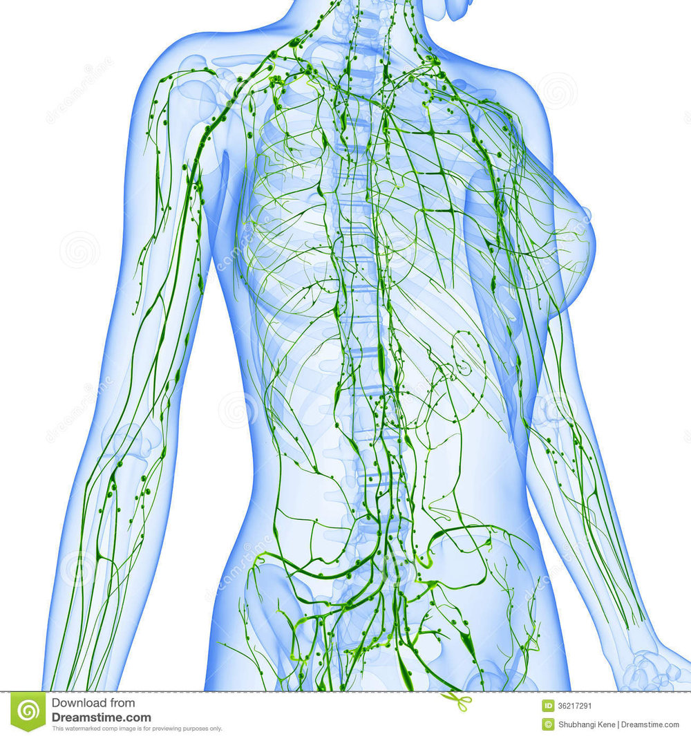 Understanding The Lymphatic System Holistic Heidi