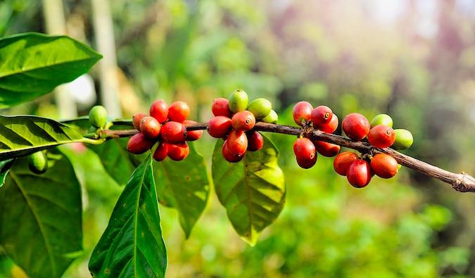 coffee cherries on branch.jpg