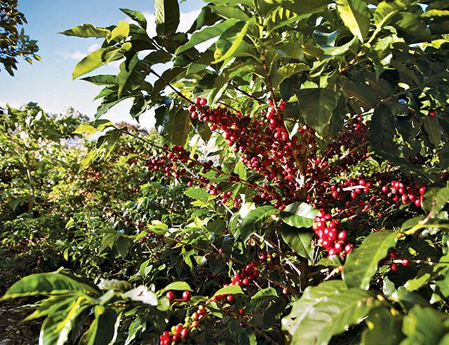 navigate-a-coffee-plantation-like-a-pro01.jpg