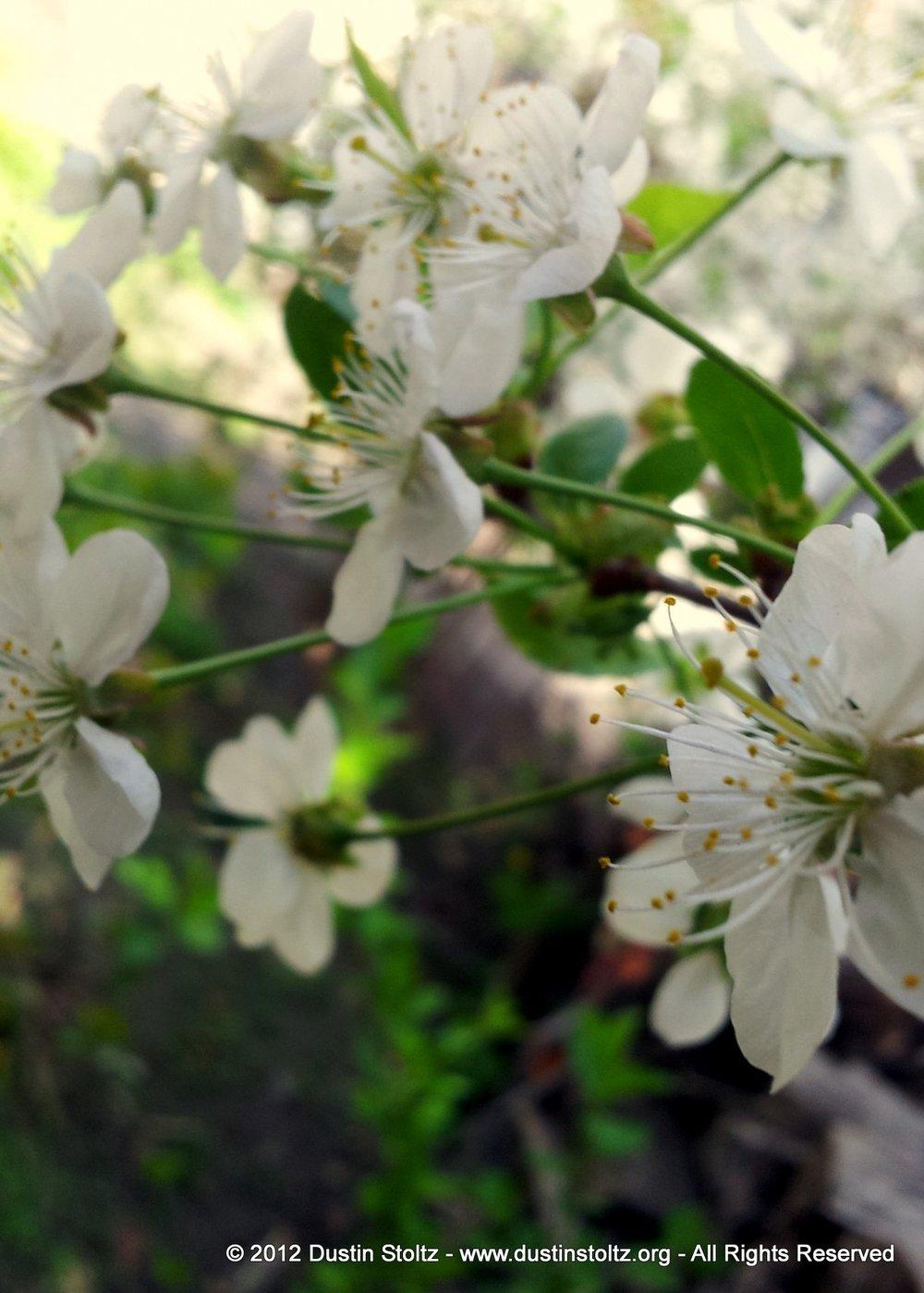 Flowering Trees in Zaqatala Rayon, Azerbaijan.
