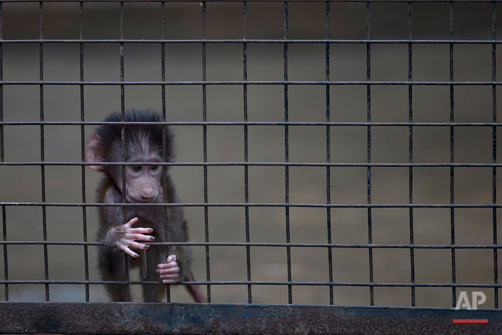A baby monkey sits inside a cage at the former Buenos Aires Zoo in Argentina, Friday, July 1, 2016. (AP Photo/Natacha Pisarenko)