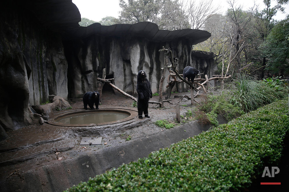 Bears roam inside their enclosed environment at the former Buenos Aires Zoo in Argentina, Friday, July 1, 2016. (AP Photo/Natacha Pisarenko)