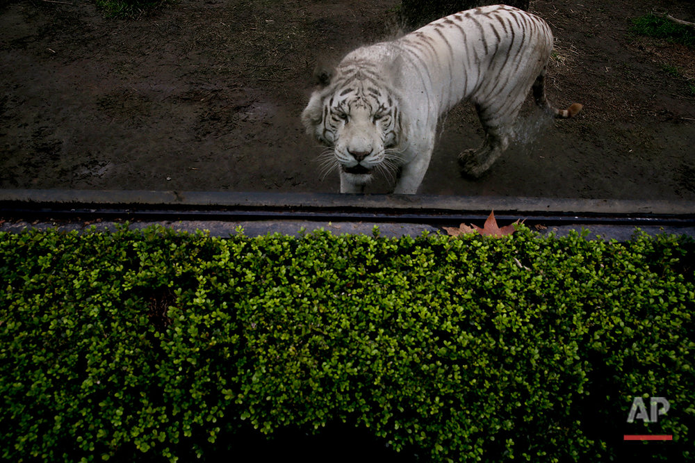 The white tiger looks out from behind a window inside its enclosure at the former Buenos Aires Zoo in Argentina, Friday, July 1, 2016. (AP Photo/Natacha Pisarenko)