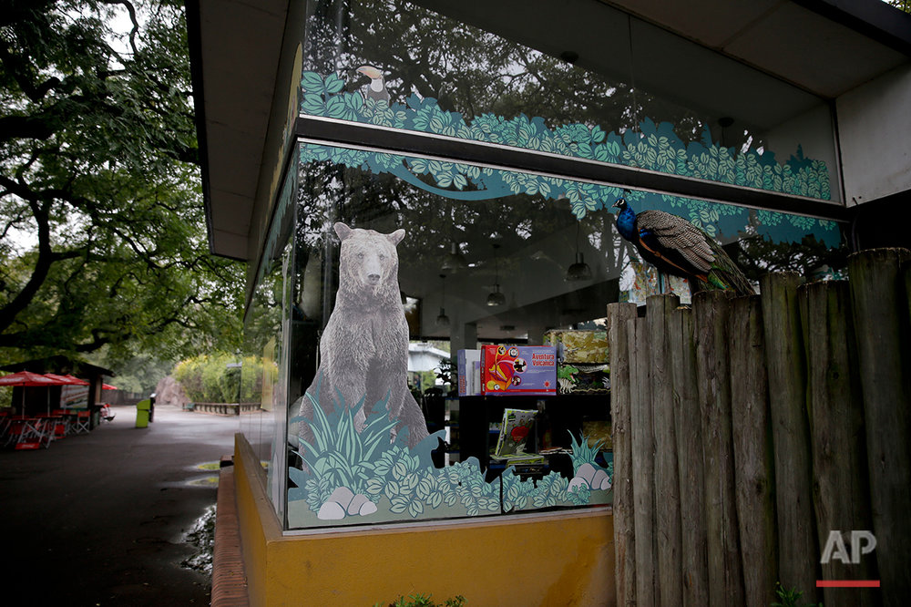 A peacock stands on a fence outside a souvenir shop inside the former Buenos Aires Zoo, Argentina, Friday, July 1, 2016. (AP Photo/Natacha Pisarenko)