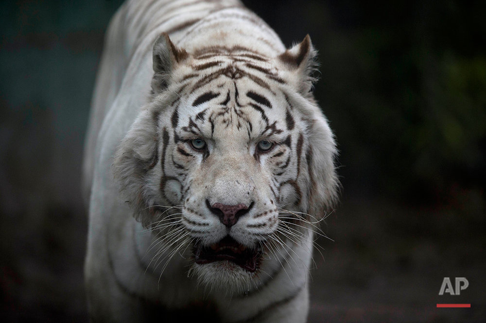 The white tiger walks inside its cage at the former Buenos Aires Zoo in Argentina, Friday, July 1, 2016. (AP Photo/Natacha Pisarenko)