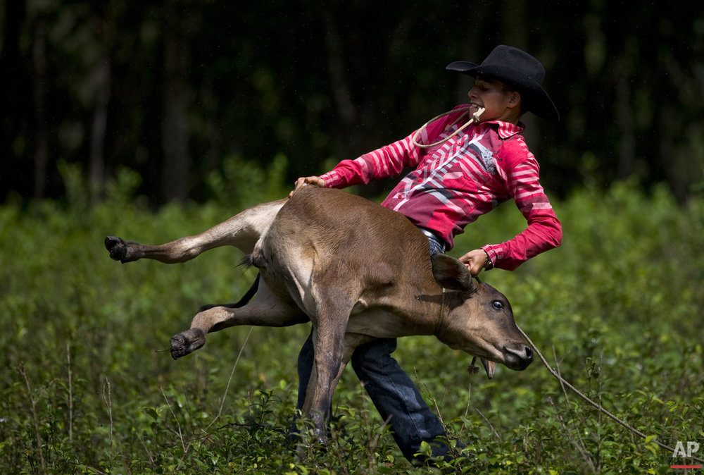 In this July 29, 2016 photo, a cowboy throws a calf to the ground to wrap its legs, during an improvised rodeo game at a farm in Sancti Spiritus, central Cuba. In the Cuban countryside, many children learn to ride a horse before they learn to ride a bicycle as well as skills like roping and riding along with more practical education. Those who grow up to be the best start farm- and ranch-related studies at local universities without passing the difficult national entrance exam. (AP Photo/Ramon Espinosa)