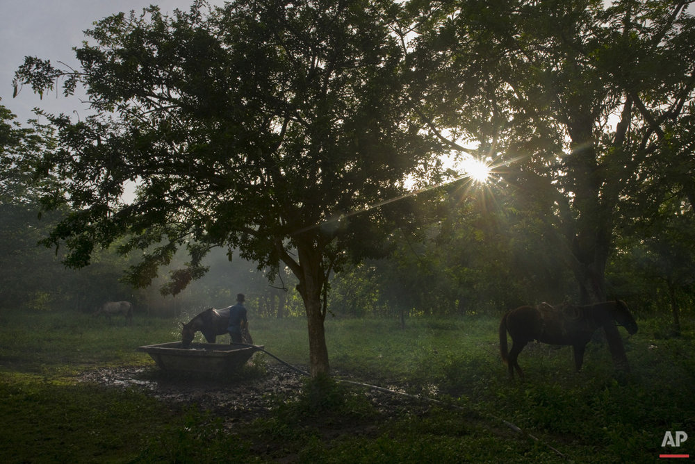 In this July 29, 2016 photo, a young cowboy bathes his horse after a rodeo competition in Sancti Spiritus, central Cuba. In the flat grasslands of Sancti Spiritus, a group of neighboring cattle ranchers founded a non-governmental organization called Future Ranchers more than a decade ago to revive Cuba's rodeo culture, which dates back centuries to Spanish colonial times. (AP Photo/Ramon Espinosa)