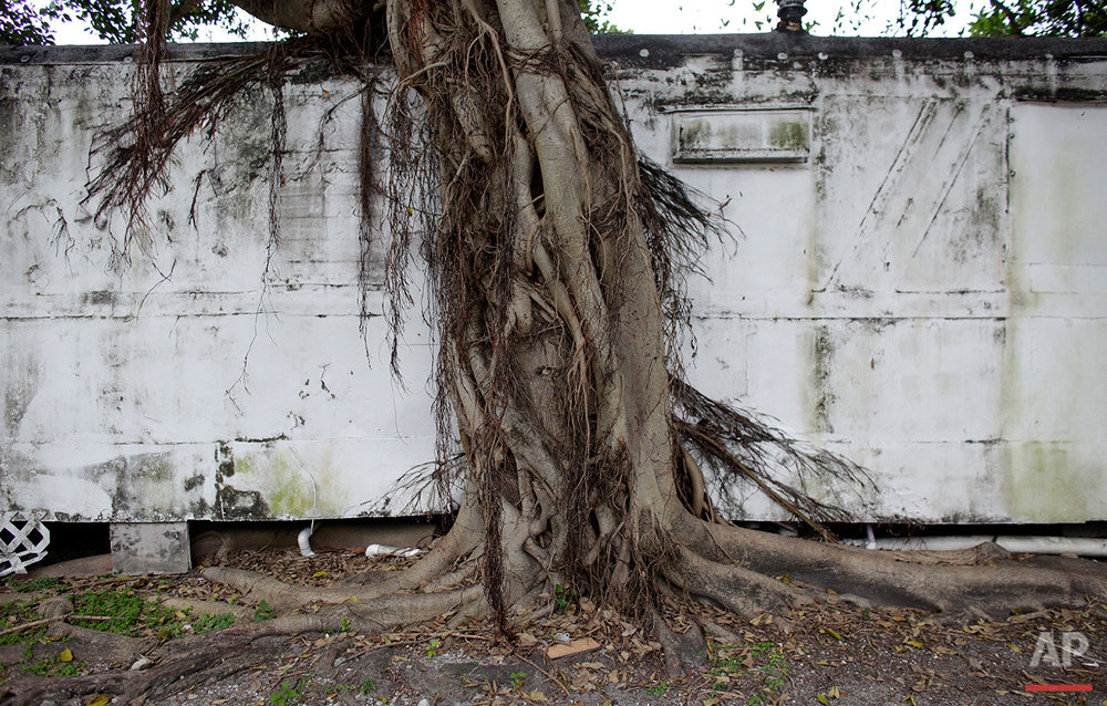 In this Tuesday, July 12, 2016 photo, a tree grows onto the side of a mobile home at the Little Farm trailer park in El Portal, Fla. In a city known for its glitzy, luxurious condo towers, affordable rental housing is hard to come by. Many of the former residents of Little Farm worked low-wage jobs, or are retirees on fixed incomes. (AP Photo/Lynne Sladky) See these photos on  APImages.com