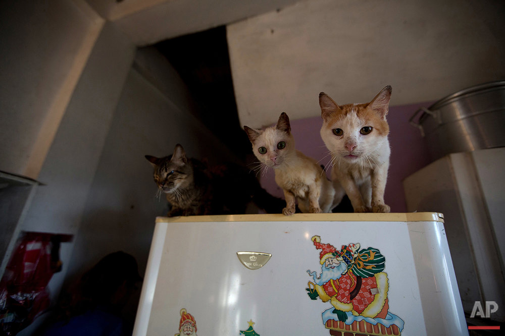 In this July 23, 2016 photo, three rescued cats watch from the top of a fridge as their food is prepared at the private shelter Funasissi, in the working-class Caracas neighborhood of El Junquito, Venezuela. The economic crisis that is leading to widespread shortages and hunger among Venezuelans is also taking its toll on the country's four-footed inhabitants. Forced to choose between feeding themselves or their beloved cats and dogs, middle class Venezuelans are abandoning their pets. (AP Photo/Fernando Llano) See these photos on  APImages.com