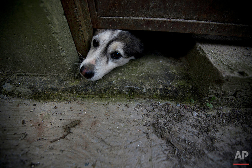 In this July 21, 2016 photo, an abandoned dog pokes his head out from under a door at the private shelter Funasissi, in the working-class Caracas neighborhood of El Junquito, Venezuela. As the country's economic crisis deepens, food shortages and rising poverty are forcing once-middle-class Venezuelans to do the unthinkable and let their pets starve, or abandon them in the streets. (AP Photo/Fernando Llano) See these photos on  APImages.com