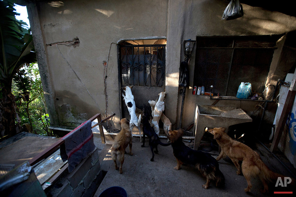 In this July 23, 2016 photo, abandoned dogs gather for feeding time at the private shelter Funasissi, in the working-class Caracas neighborhood of El Junquito, Venezuela. No figures are available, but activists and veterinarians say they are seeing a growing number of dogs and cats abandoned at Venezuela's parks, shelters, and private clinics. (AP Photo/Fernando Llano)See these photos on  APImages.com