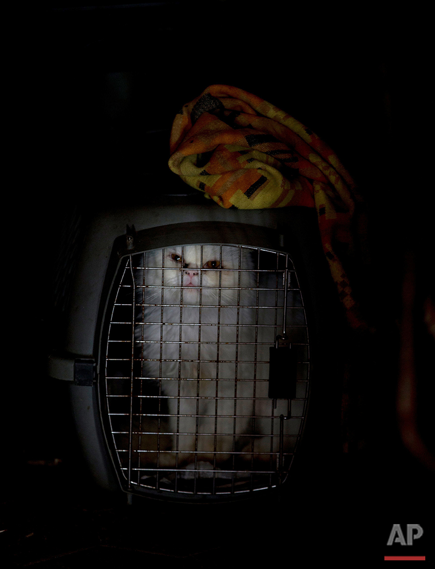 In this July 23, 2016 photo, a quarantined cat sits in a cage at the private shelter Funasissi, in the working-class Caracas neighborhood of El Junquito, Venezuela, after he was rescued on the streets, abandoned by his owners. As Venezuela's economic crisis deepens, food shortages and rising poverty are forcing once-middle-class Venezuelans to do the unthinkable and let their pets starve, or abandon them in the streets. (AP Photo/Fernando Llano)See these photos on  APImages.com