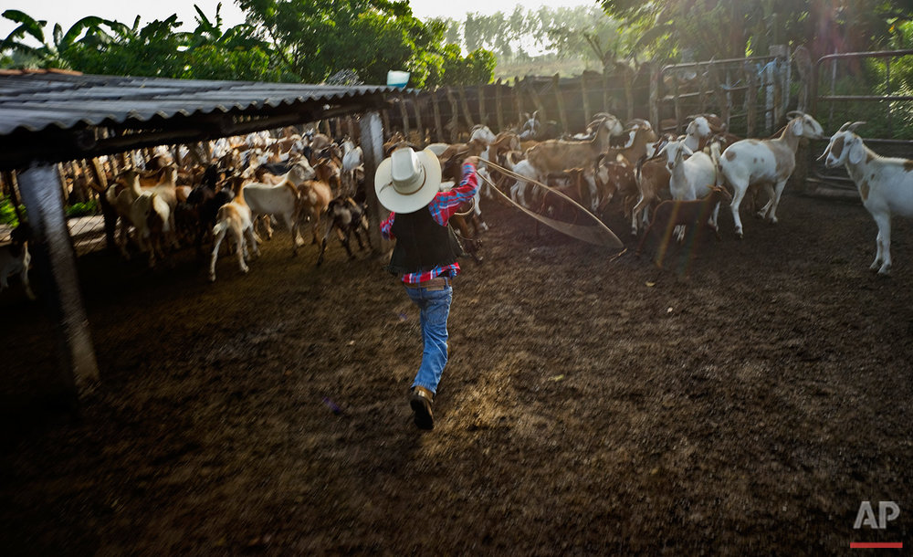 In this July 29, 2016 photo, 5-year-old cowboy David Obregon works to lasso a goat for milking at his parents farm in Sancti Spiritus, central Cuba. A group of neighboring cattle ranchers founded a non-governmental organization called Future Ranchers more than a decade ago to revive Cuba's rodeo culture, which dates back centuries to Spanish colonial times. The group teaches rodeo skills like roping and riding along with more practical education in ranching, veterinary medicine and farming. (AP Photo/Ramon Espinosa)