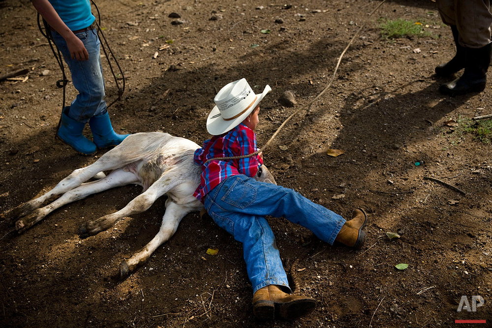 In this July 29, 2016 photo, 5-year-old cowboy David Obregon holds down a calf during an improvised rodeo event at a farm in Sancti Spiritus, central Cuba. In the Cuban countryside, many children learn to ride a horse before they learn to ride a bicycle as well as skills like roping and riding along with more practical education. Those who grow up to be the best start farm- and ranch-related studies at local universities without passing the difficult national entrance exam. (AP Photo/Ramon Espinosa)