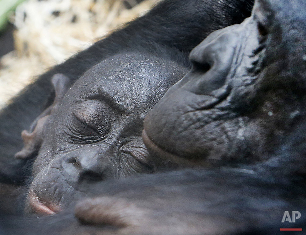 A 1-week-old Bonobo baby sleeps in the arms of its mother Bashira at the zoo in Frankfurt, Germany, Friday, Aug. 5, 2016. (AP Photo/Michael Probst)