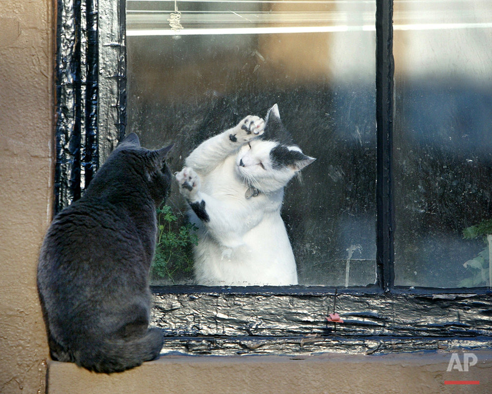 Separated by a pane of glass, a white cat on the inside of a Brooklyn brownstone tries to play with a black cat sitting on the exterior window sill Monday, March 1, 2004,  in  New York. (AP Photo/Kathy Willens)