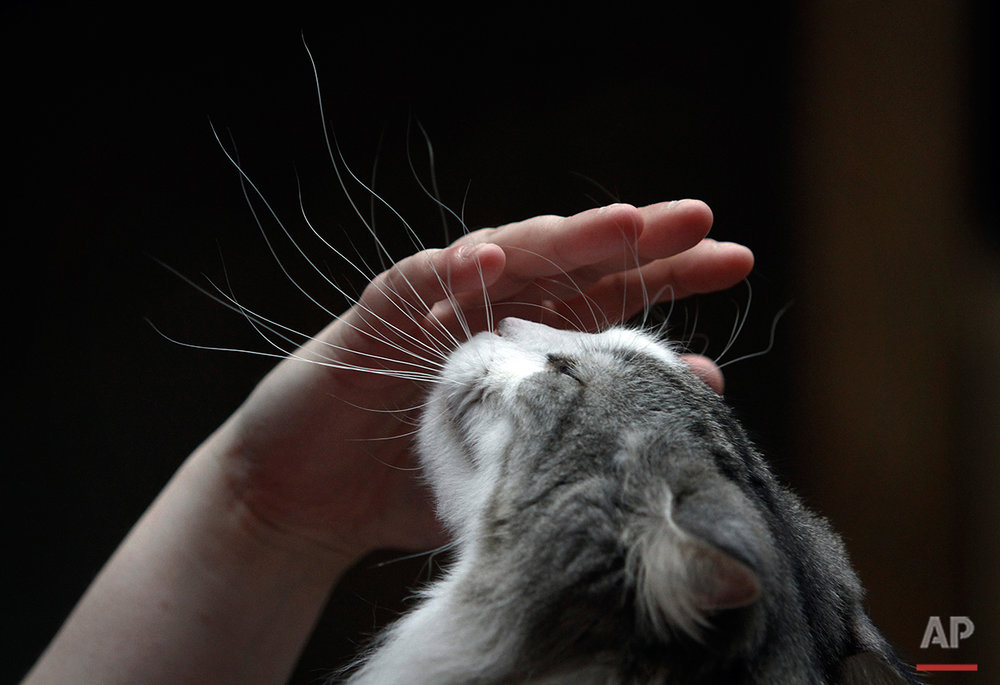 A woman pets her cat during the International Cat Exhibition in Sofia, Saturday, April 30, 2011. Some 170 cats take part in a two-day exhibition, aimed at awarding and stimulate the breeding of pure-bred cats.(AP Photo/Valentina Petrova)