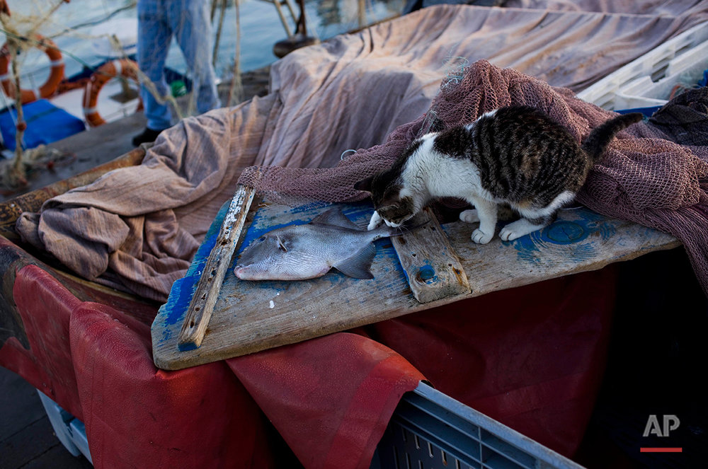 In this Saturday, Jan. 7, 2012 photo a cat investigates a fish in the port of the southern Spanish city of Barbate, Spain. Hundreds of angry fishermen and their families are protesting an EU decision scrapping an accord that let them work in Moroccan waters, likening it to a death-knell for their economically depressed town in southern Spain. The demonstrators waved red-and-white union banners and chanted Monday Jan, 9, 2012 as they marched through Barbate, a fishing-dependent town of 20,000 in the southern Andalusia region. The fishermen are also staging a one-day strike. EU lawmakers voted last month not to renew an accord that let European vessels fish in Moroccan waters. Among other complaints, the lawmakers called the euro36 million ($47 million) a year pricetag too expense and said the agreement led to over-exploitation of fishing stocks. (AP Photo/Emilio Morenatti)