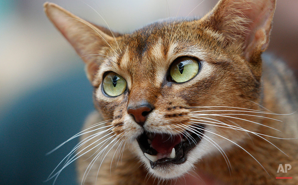 An Abyssinian cat reacts during an international cat beauty show in Vilnius, Lithuania, Saturday, April 7, 2012. (AP Photo/Mindaugas Kulbis)