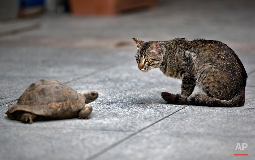 Selma, the turtle grabs the attention of a stray cat, while on her daily walk out, near Taksim square, in Istanbul, Turkey, Wednesday, June 12, 2013. (AP Photo/Vadim Ghirda)