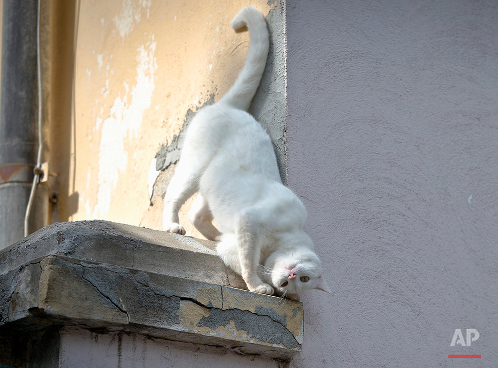 A cat rubs his head against a wall,   in Bucharest, Romania, Friday, May 17, 2013. (AP Photo/Vadim Ghirda)