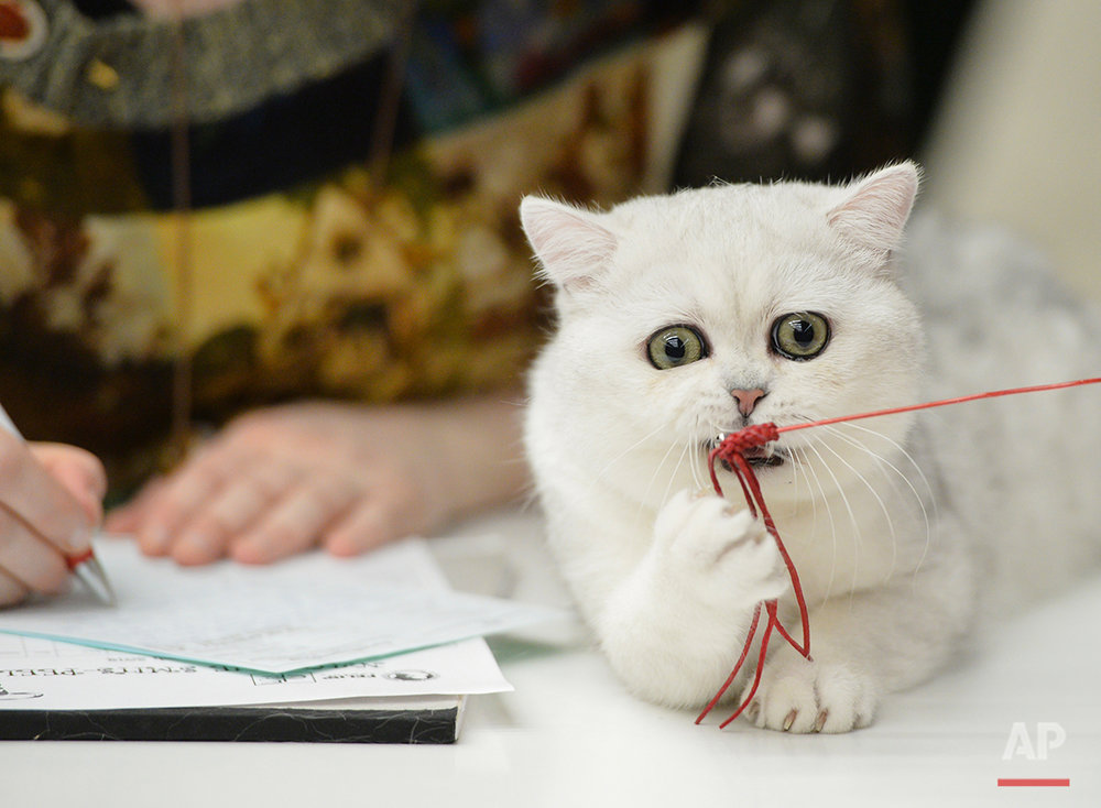A British Shorthair kitten plays with a toy while being evaluated at an international feline beauty show in Bucharest, Romania, Saturday, March 8, 2014. The two-day international feline beauty contest drew hundreds of cats from several countries. (AP Photo/Andreea Alexandru/Mediafax) ROMANIA OUT