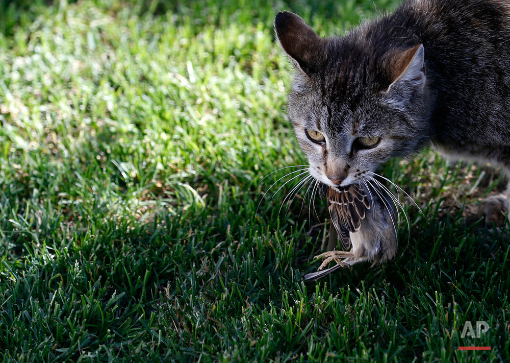 A cat carries a sparrow it had caught at the Zasavica marsh, 90 kilometers west of Belgrade, Serbia, Thursday, May 22, 2014. (AP Photo/Darko Vojinovic)