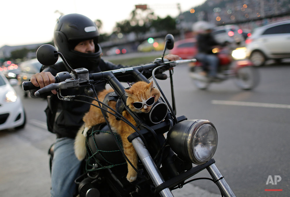 A motorcycle rider carries his cat Chiquinho on his bike, near Maracana stadium, in Rio de Janeiro, Brazil, Sunday, June 19, 2016. (AP Photo/Silvia Izquierdo)