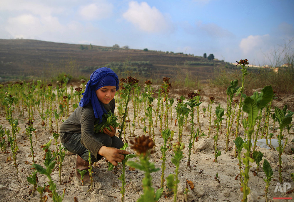 In this Thursday, Aug. 11, 2016, Syrian refugee Naamah al-Durzi, 13, who fled with her family from the city of Idlib, Syria, collects the tobacco leaves at a field in the southern village of Jibchit, Lebanon. Syria's conflict has flooded Lebanon with hundreds of thousands of refugees, put a huge strain on the economy and increased demand on the country's already crumbling infrastructure. But the Syrian five-year civil war has been a boon for at least one sector: the tobacco industry. (AP Photo/Bilal Hussein)