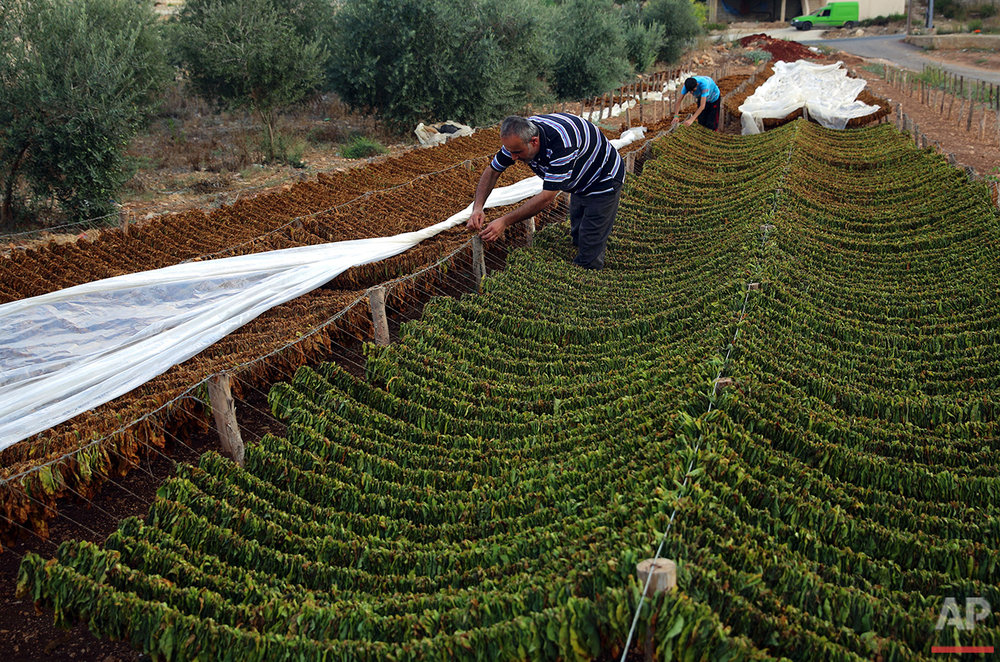 In this Thursday, Aug. 11, 2016, Lebanese farmer Abbas Khraibani, foreground, hangs tobacco leaves on long wires to dry, at his field in the southern village of Adchit, Lebanon. Syria's civil war has displaced over a million refugees to Lebanon, putting huge strain on the Lebanese economy, but it has been a boon for at least one sector: the tobacco industry. Lebanon's state-owned cigarette company is boosting production to meet rising demand, and is one of the few institutions to contribute money to the government coffers. (AP Photo/Bilal Hussein)