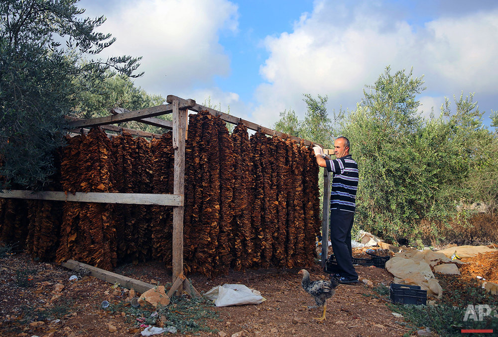 In this Thursday, Aug. 11, 2016, Lebanese farmer Abbas Khraibani hangs tobacco leaves on long wires to dry, at his field in the southern village of Adchit, Lebanon. Syria's civil war has displaced over a million refugees to Lebanon, putting huge strain on the Lebanese economy, but it has been a boon for at least one sector: the tobacco industry. Lebanon's state-owned cigarette company is boosting production to meet rising demand, and is one of the few institutions to contribute money to the government coffers. (AP Photo/Bilal Hussein)