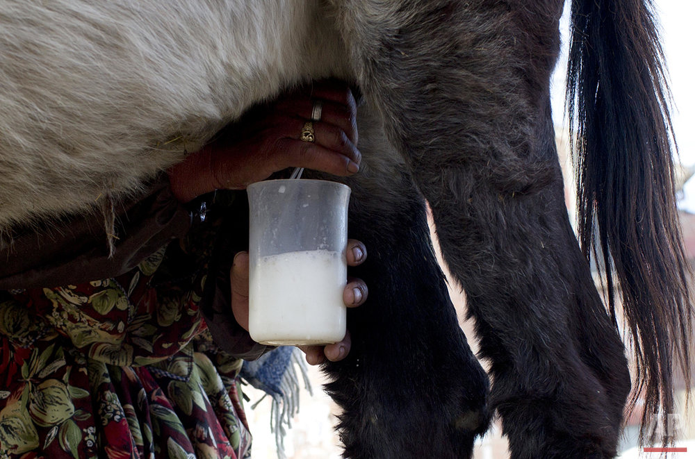 In this June 8, 2016 photo, donkey milk vendor Petrona Yugra milks a donkey by hand to sell the milk to a client in El Alto, Bolivia. Yujra has sold donkey milk for 35 years. (AP Photo/Juan Karita)