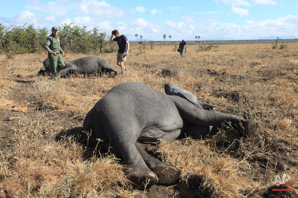 In this Tuesday July 12, 2016 photo, elephants lay on a riverside plain in Lilongwe, Malawi, after being immobilized by darts fired from a helicopter, in the first step of an assisted migration of 500 of the threatened species. African Parks, which manages three Malawian reserves is moving the 500 elephants from Liwonde National Park, this month and next, and again next year when vehicles can maneuver on the rugged terrain during Southern Africa's dry winter. (AP Photo/Tsvangirayi Mukwazhi)