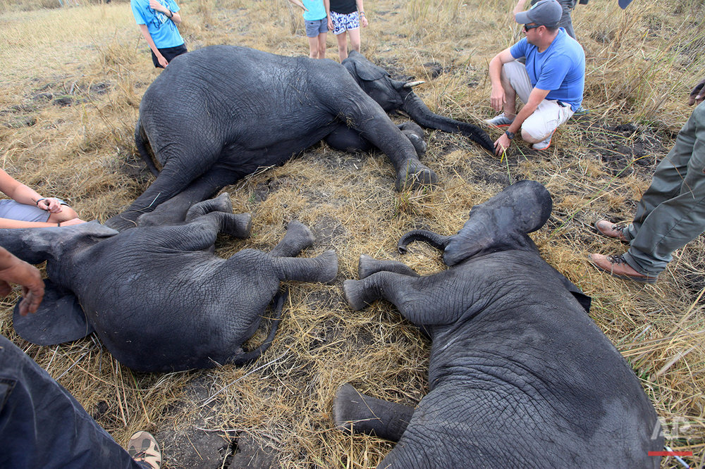 In this Tuesday July 12, 2016 photo, African elephants lay on a riverside plain in Lilongwe, Malawi, after being immobilized by darts fired from a helicopter in the first step of an assisted migration of 500 of the threatened species. African Parks, which manages three Malawian reserves is moving the 500 elephants from Liwonde National Park, this month and next, and again next year when vehicles can maneuver on the rugged terrain during Southern Africa's dry winter. (AP Photo/Tsvangirayi Mukwazhi)