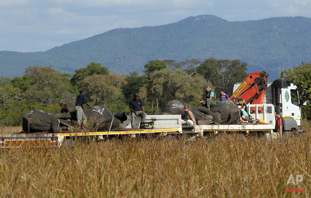 A truck transports immobilized elephants in Lilongwe, Malawi, in the first step of an assisted migration of 500 of the threatened species. African Parks, which manages three Malawian reserves is moving the 500 elephants from Liwonde National Park, this month and next, and again next year when vehicles can maneuver on the rugged terrain during Southern Africa's dry winter. (AP Photo/Tsvangirayi Mukwazhi)