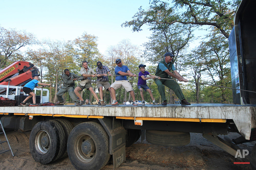 In this Tuesday July 12, 2016 photo, a team pull a rope attached to a flatbed truck in Lilongwe, Malawi, in the first step of an assisted migration of 500 of the threatened species. African Parks, which manages three Malawian reserves is moving the 500 elephants from Liwonde National Park, this month and next, and again next year when vehicles can maneuver on the rugged terrain during Southern Africa's dry winter. (AP Photo/Tsvangirayi Mukwazhi)