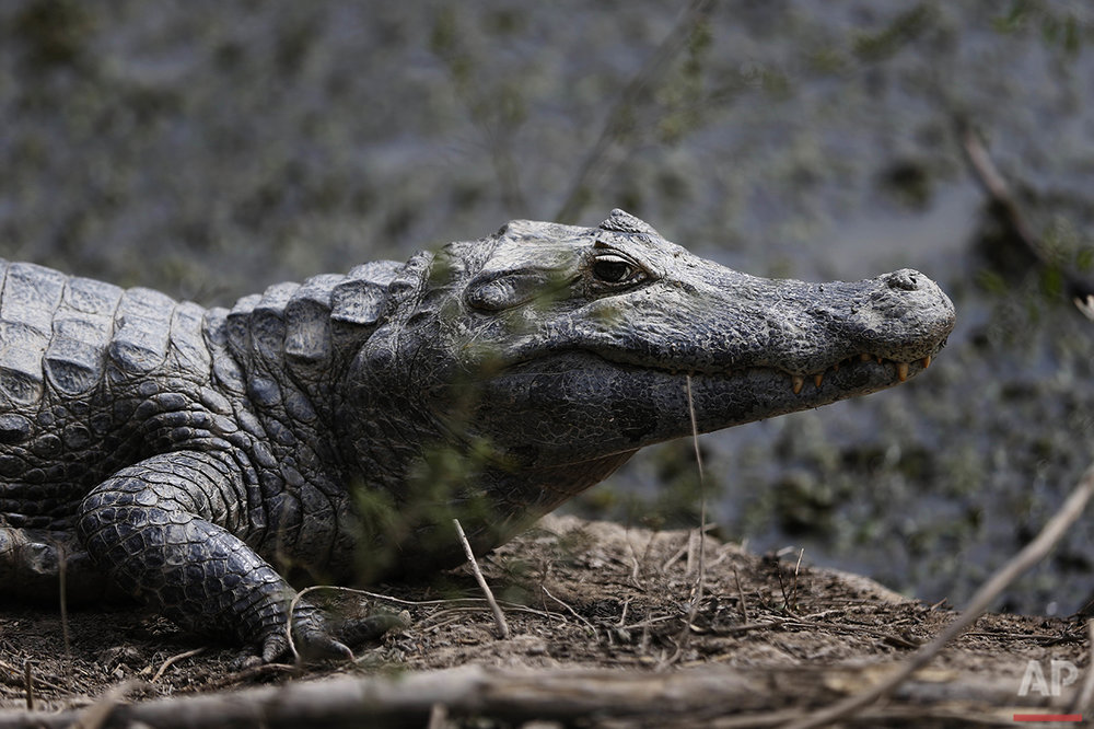 Paraguay Caimans Photo Gallery