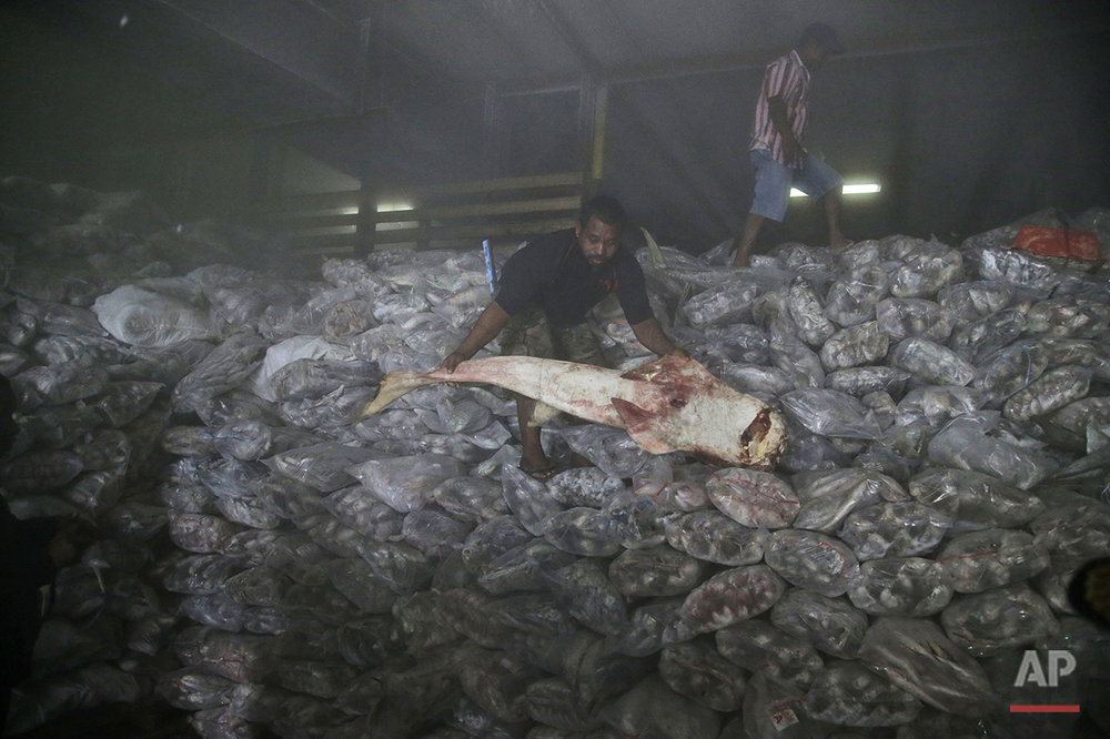A worker shows a shark during an inspection by Indonesian fisheries officials inside the cold storage room of Pusaka Benjina Resources fishing company in Benjina, Aru Islands, Indonesia, Thursday, April 2, 2015. Officials from three countries are traveling to a remote island of Indonesia to investigate how thousands of foreign fishermen wound up there as slaves and were forced to catch seafood that could eventually end up being exported to the United States and elsewhere. (AP Photo/Dita Alangkara)