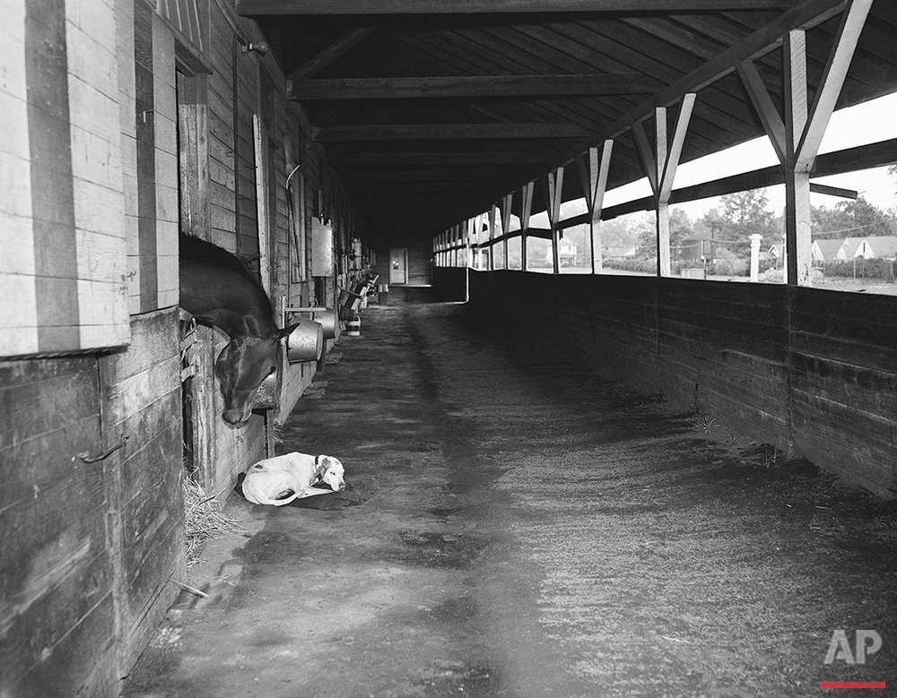 A potential derby starter, fighting Don (owned by Miss Gertrude Donovan of Detroit) looks out of his stable at a sleeping dog on May 5, 1945. (AP Photo)