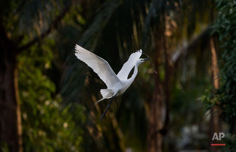 India Egret