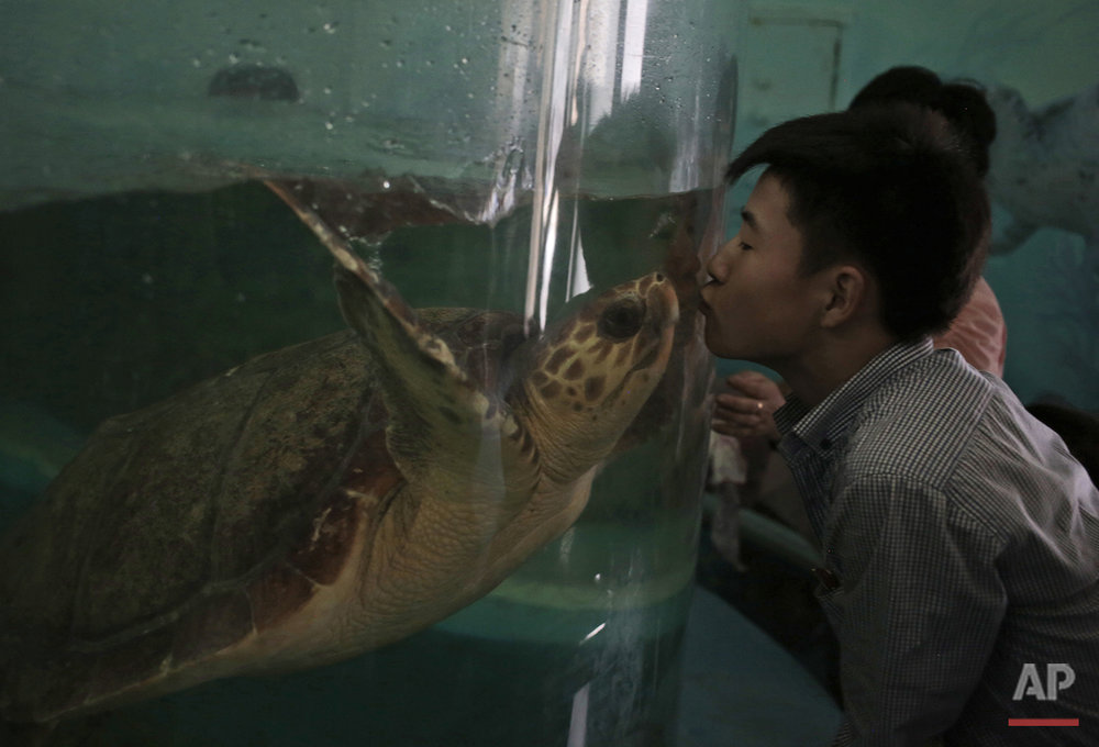 A North Korean man kisses a turtle through the glass of its tank at the newly opened Pyongyang Central Zoo in Pyongyang, North Korea, Tuesday, Aug. 23, 2016. North Korean leader Kim Jong Un's latest gift to the lucky residents of Pyongyang, the renovated central zoo, is pulling in thousands of visitors a day with a slew of attractions ranging from such typical zoo fare as elephants, giraffes, penguins and monkeys to a high-tech natural history museum. (AP Photo/Dita Alangkara)