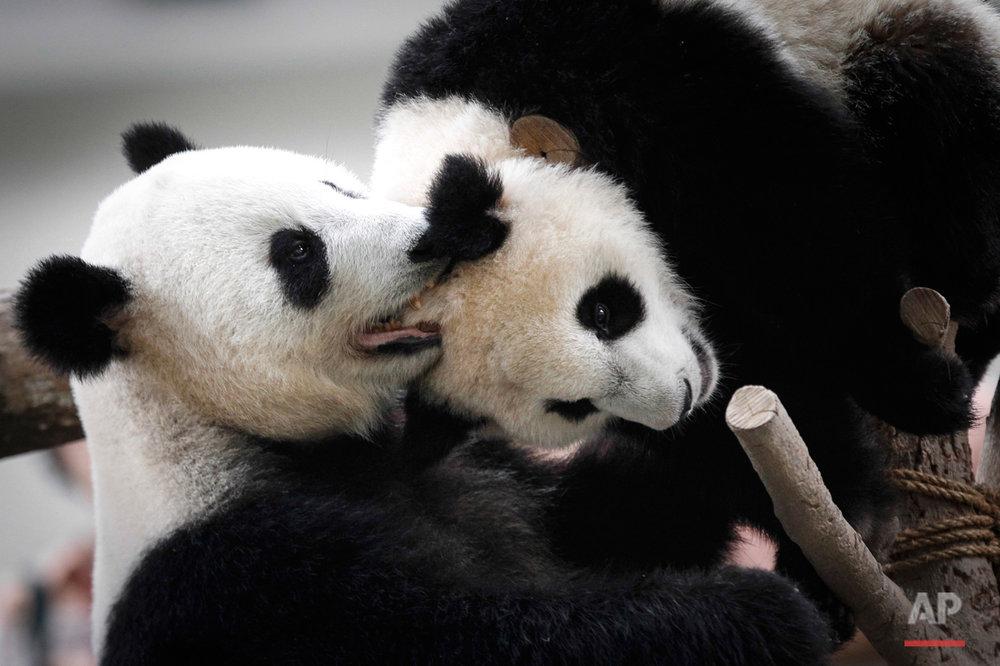 Malaysia Panda Birthday