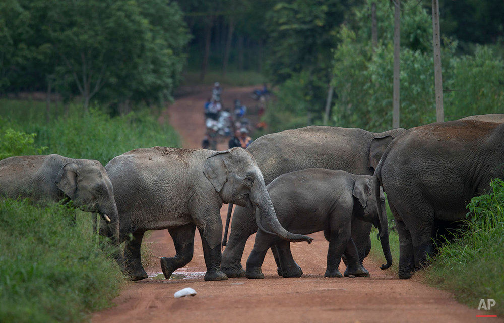 In this Thursday, Aug. 18, 2016 photo, a herd of wild elephants cross a dirt road in Pana, southeastern province of Chanthaburi, Thailand. To stop wild elephants rampaging through their crops, farmers are trying a pilot scheme run by the Thai Department of National Parks that is deploys bees as a new line of defense, exploiting elephants' documented fear of bee stings. (AP Photo/Gemunu Amarasinghe)