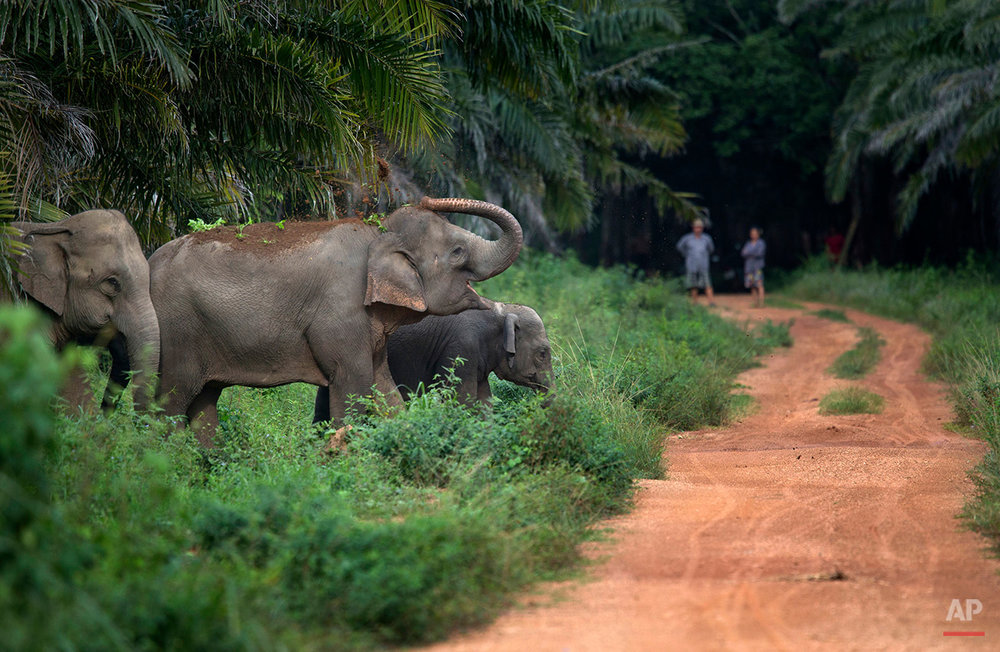 In this Thursday, Aug. 18, 2016 photo, villagers watch from afar as wild elephants crossing a rural road in Pana, southeastern province of Chanthaburi, Thailand. To stop wild elephants rampaging through their crops, farmers are trying a pilot scheme run by the Thai Department of National Parks that is deploys bees as a new line of defense, exploiting elephants' documented fear of bee stings. (AP Photo/Gemunu Amarasinghe)
