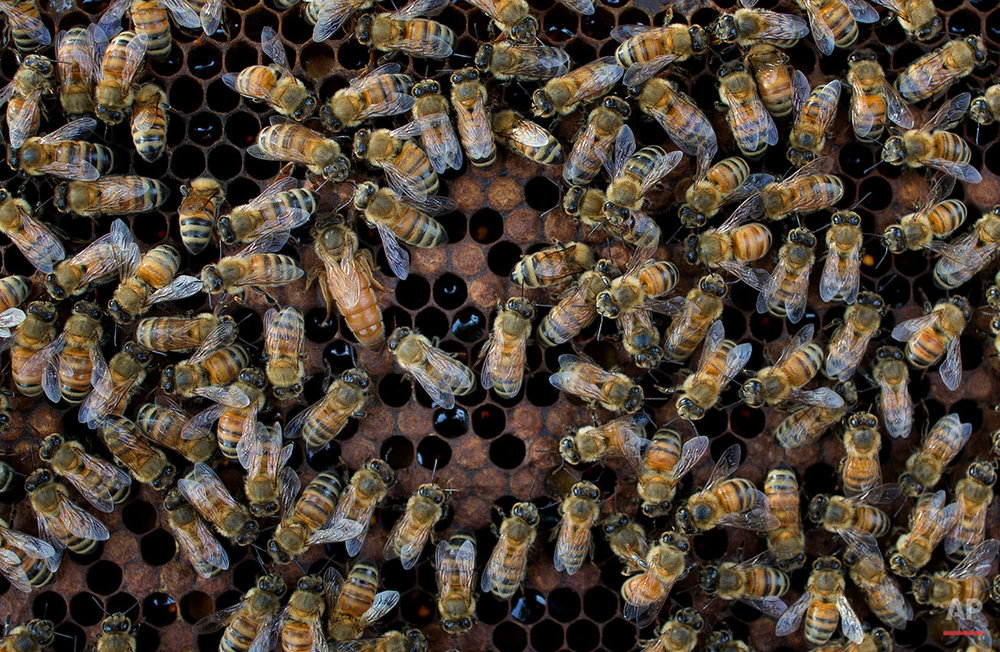 In this Thursday, Aug. 18, 2016 photo, a queen bee is visible, center left, of a beehive in Pana, southeastern province of Chanthaburi, Thailand. To stop wild elephants rampaging through their crops, farmers are trying a pilot scheme run by the Thai Department of National Parks that is deploys bees as a new line of defense, exploiting elephants' documented fear of bee stings. (AP Photo/Gemunu Amarasinghe) See these photos on  APImages.com